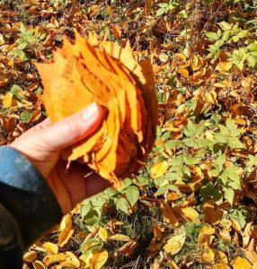 birch-leaf-collection